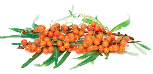 Sea Buckthorn Leaf